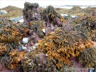 Red Devonian sandstone rocks at the beach with fucoid seaweeds