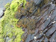 Devonian sandstone strata with black lichens, fucoid seaweed and green algae