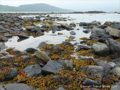 Seaweeds growing on Devonian sandstone at the water's edge in Fermoyle