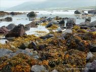 Seaweed covered rocks on the Fermoyle shore