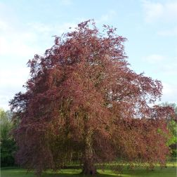 Copper beech tree with new leaves
