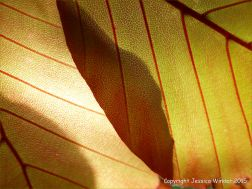 Light shining through beech leaves