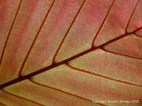 Light shining through a beech leaf