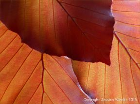Light shining through beech leaves