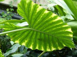 Giant leaf at Kew Gardens