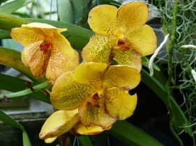Yellow orchid at Kew Gardens