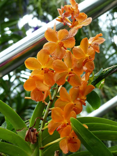 Orange orchid at Kew Gardens