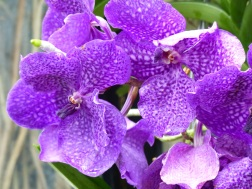Purple orchid at Kew Gardens