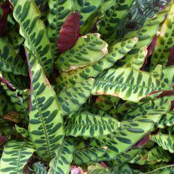 Variegated leaves at Kew Gardens