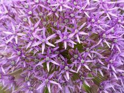 Alliums at Kew Gardens