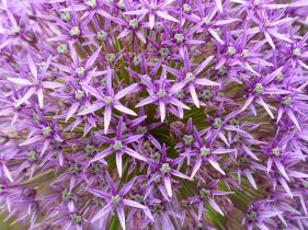 Alliums at Kew Gardens
