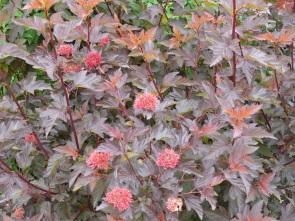 Flowering shrub at Kew Gardens