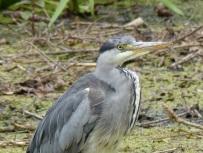 Heron at Kew Gardens