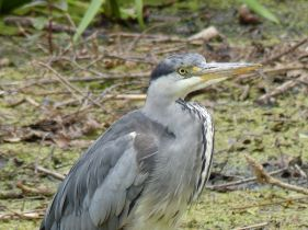 Heron at Kew Gardens