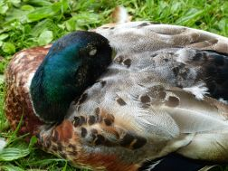 Sleeping duck at Kew Gardens