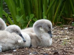Cygnets at Kew Gardens