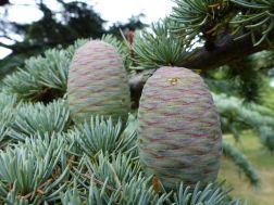 Cones at Kew Gardens