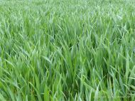 Green wheat growing in the English countryside