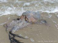 Jellyfish on Studland Beach