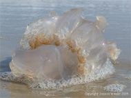 Jellyfish on Studland Beach