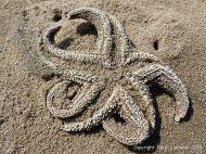 Starfish skeleton on a sandy beach