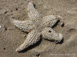 Skeletonised dead starfish in the sand