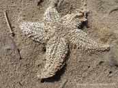 Skeletonised dead starfish in the sand