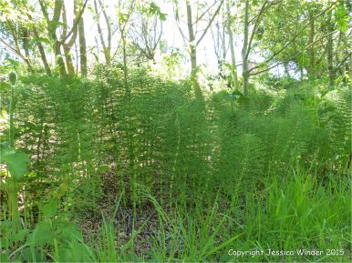Horsetails growing on a wet embankment
