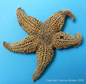 Dead starfish with lattice-work skeleton photographed against a blue background