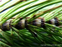 Close-up of Horsetail stem