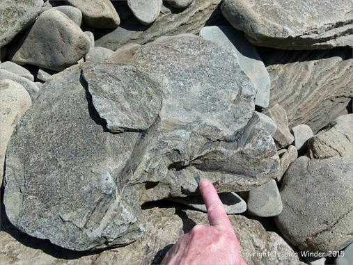Plant fossils in beach stones at Cape Enrage