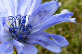 Pale blue flower of perrenial chicory