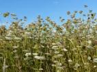 White flowers of wild carrot in Nitten Field