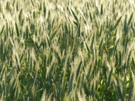 Ripening heads of hybrid barley in Nitten Field