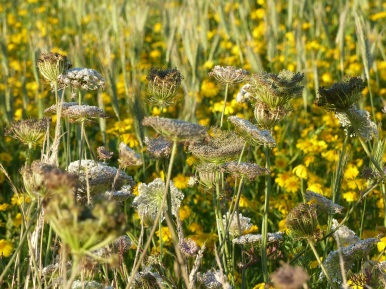Yellow corn marigold and white wild carrot flowers in Nitten Field