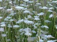 Wild carrot flowers In Nitten Field