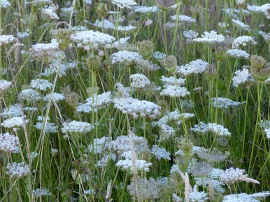 Wild carrot flowers In Nitten Field