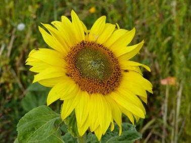 Dwarf sunflower in Nitten Field