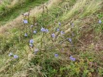 Perennial chicory in Nitten Field