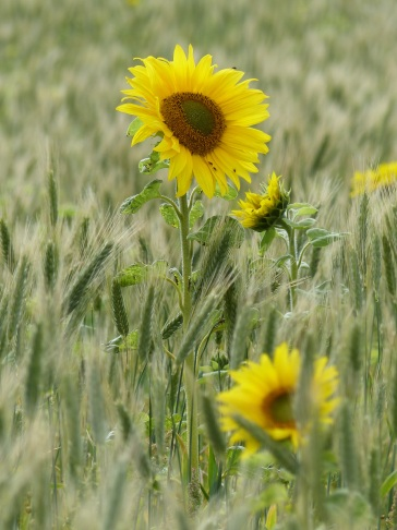 Sunflowers and hybrid barley in Nitten Field