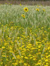 Sunflowers, corn marigolds, and hybrid barley in Nitten Field