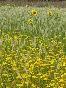 Sunflowers, corn marigolds, and hybrid barley in Nitten Field