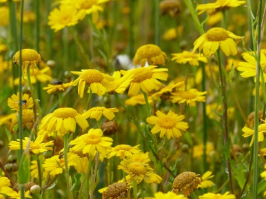 Corn Marigolds in Nitten Field
