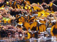 Sunlight shining through kelp seaweed at low tide