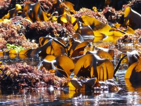Sunlight shining through kelp seaweed at low tide