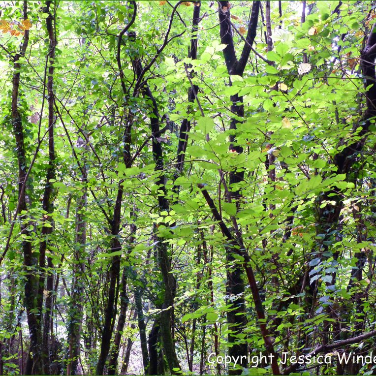 Dense thicket of young trees in late summer