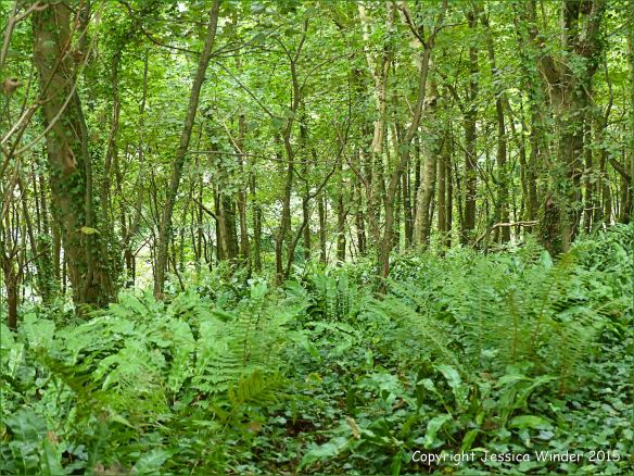 Ferns and ivy beneath the trees of a Dorset woodland