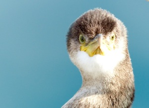 Close up photograph of a young cormorant looking straight at the camera