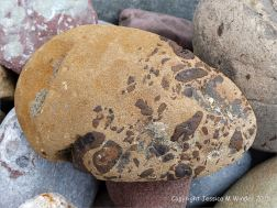 A beach stone with iron nodules on the Gower Peninsula in South Wales