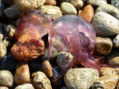 Mauve Stinger jellyfish on the beach